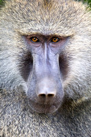 Baboon Stare Down