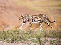 Cheetah Walk
